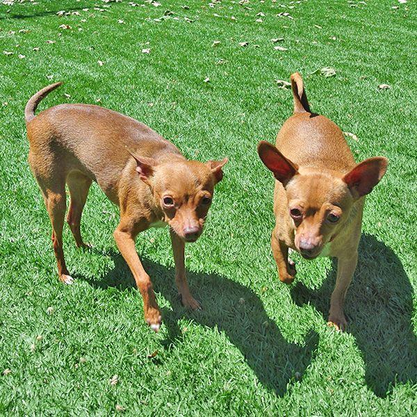 Tia & Tamera, Chihuahua, 04/23/14   HSSV Dogs 3000 +   Pinterest ...