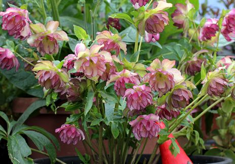 "Helleborus 'Peppermint Ice' ""Lenten Rose""  Annie's Annuals"