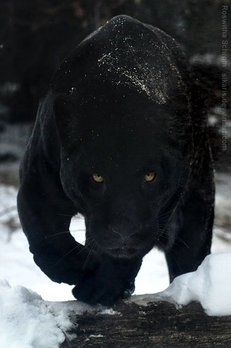 Black panther in the snow oh such a scary face! yikes!