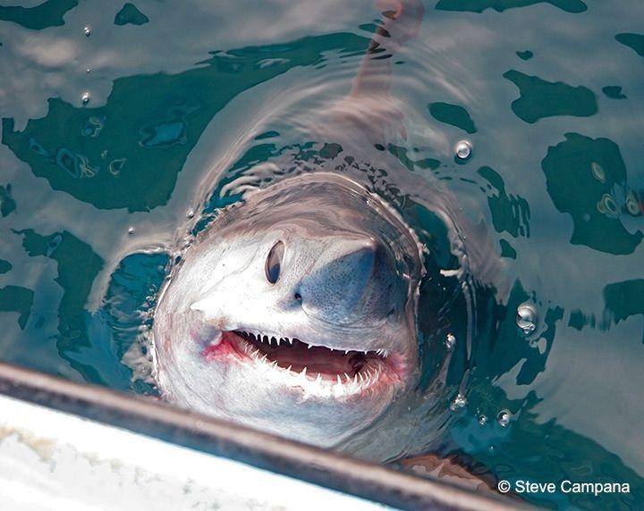 Porbeagle Shark    http://atlanticsharks.org/shark_species_details.php?id=4