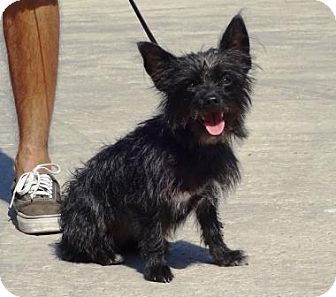 Lathrop, CA - Terrier (Unknown Type, Small)/Yorkie, Yorkshire Terrier Mix. Meet Shadow, a dog for adoption. http://www.adoptapet.com/pet/16714857-lathrop-california-terrier-unknown-type-small-mix
