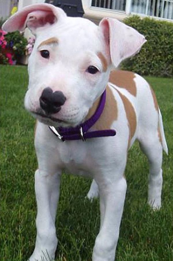 """""""Here is a picture of my American Bulldog/Pit bull mix Ginger when she was a pup. She has natural eyebrows, heart shaped nose, beauty mark, and lipstick."""""""