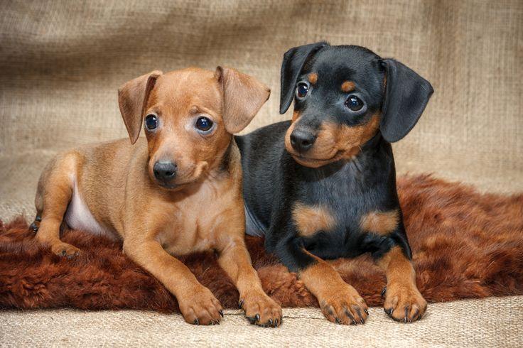 Mini Pinscher Dog Breed Information