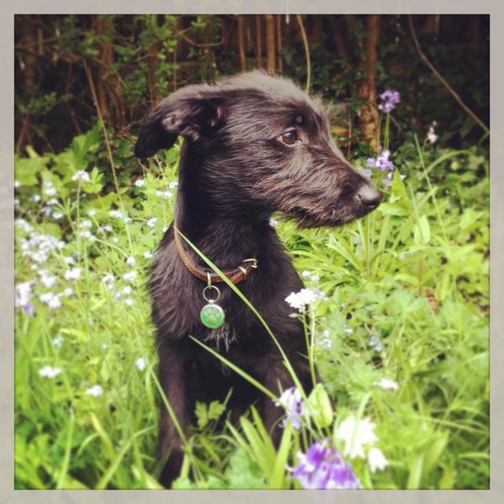 My beautiful beddy whippet! <3 Jack<3 ( bedlington terrier x whippet )