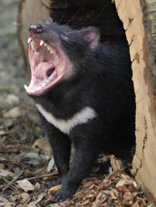 The Tasmanian devil (Sarcophilus harrisii) is a carnivorous marsupial, now found in the wild only on the Australian island state of Tasmania. The size of a small dog, it is the largest carnivorous marsupial in the world.Males fight one another for the females, and then guard their partners to prevent female infidelity. devil facial tumour disease has drastically reduced the devil population and now threatens the survival of the species, which in 2008 was declared to be endangered.