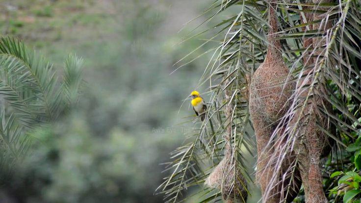 Weaver Bird Moments
