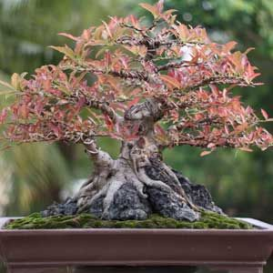 Come See The Beautiful Bonsai Trees Showcased By The Valleyu0027s Bonsai  Society At The Fresno Home U0026 Garden Show, March