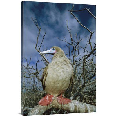 East Urban Home 'Red-Footed Booby in Palo Santo Tree, Galapagos Islands, Ecuador' Photographic Print Size: