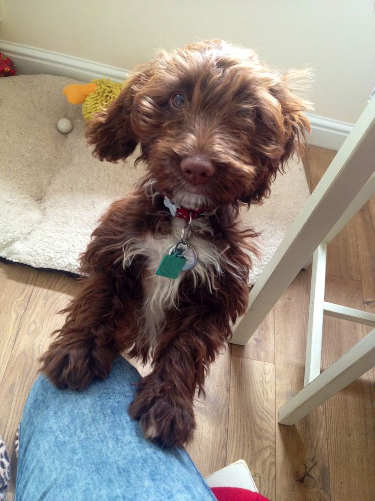 View Ad: Springerdoodle Puppy for Sale, Rhode Island ...
