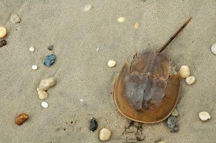 How to Preserve a Dead Horseshoe Crab