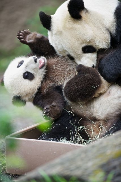 Bai Yun torturing her cub...with love bites by Rita Petita | Flickr - Photo Sharing!  This is not the best shot but it is the funniest from today.....Mr. Wu was on the platform and making his way down when Momma Bai Yun went and grabbed him and brought him down to play. He and Bai Yun had a great time together in the tub full of hay.