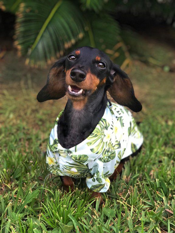 Got Him A Cute Little Hawaiian Shirt Dachshund Funny Dogs