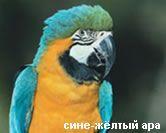 Сине-желтый ара обитает в Южной Америке.