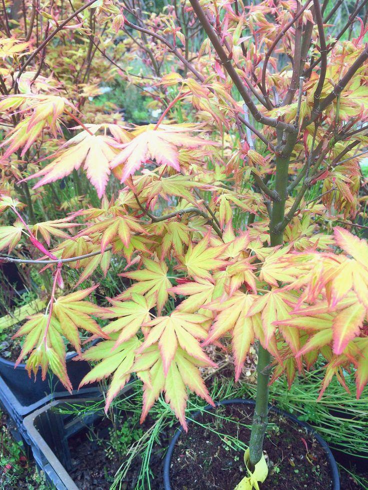 "Acer palmatum ""Orange Dream"" - #JAPANESE #MAPLE - #acer #palmatum - #Fächer #Ahorn - #érable #palmé - #orange #dream - #tree #ornamental #beautiful #arancione #rosso #red #leaves ||"