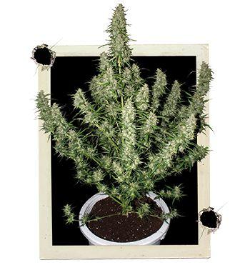 Magnum Feminised Cannabis Seeds