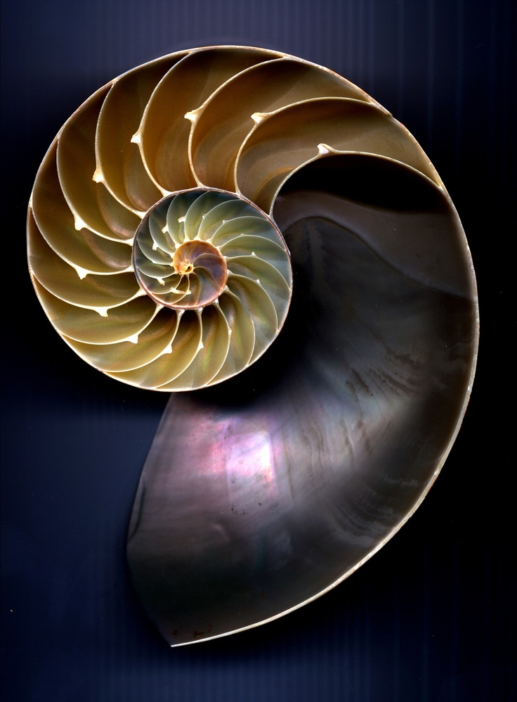 One of nature's most perfect forms -- the nautilus shell