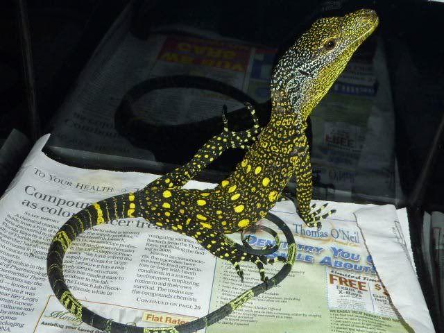 Baby crocodile monitor
