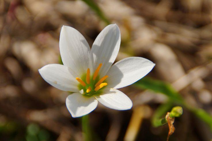 https://flic.kr/p/z1gaSn | たますだれ (玉簾) /Zephyranthes candida | 20150918-DSC04764たますだれ (玉簾) /Zephyranthes candida ユリ科タマスダレ属の英名 Zephyr flower, Zephyr lily, Fairy lily