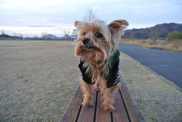 . 今年も宜しくお願いします。 戌年 ろっちゃんの年やで~、 って言ってます。 #愛犬 #ヨークシャーテリア #ヨークシャテリア #ろっちゃん #保護犬 #元保護犬 #2018 #戌年 #犬