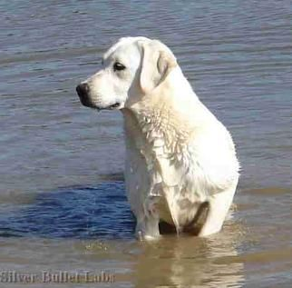 white lab | white labrador retriever puppies, white lab puppies, white labrador ...