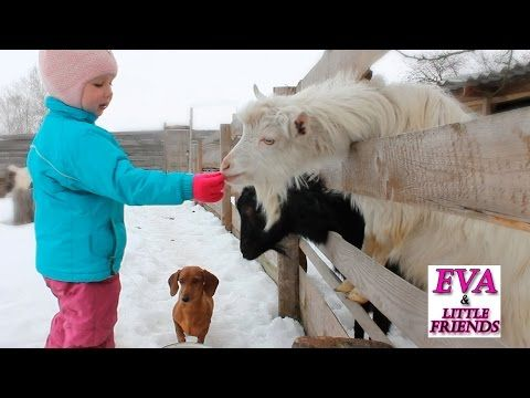 Детское видео кормим коз, смешная такса Соня ворует свеклу. Видео про домашних животных для детей - YouTube