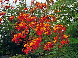 The Pride Of Barbados Full Sun Pride Of Barbados Is An