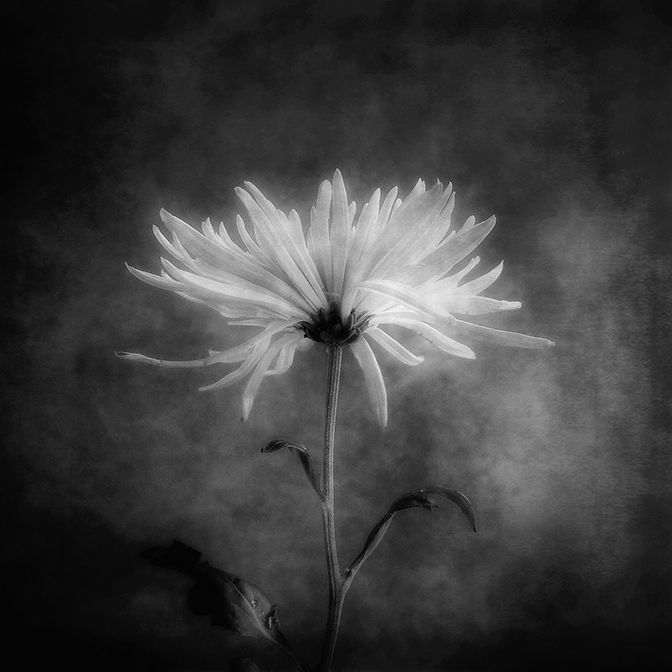 Autumn flower in black white louis kumpf
