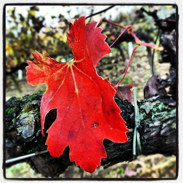 """@roncocalino's photo: """"Autunno in Franciacorta. L'ultima foglia rossa. #franciacorta #autunno #autumn #foglia #leaf #rosso #red #vigna #vine #italia #italy #lombardia #lombardy #instaitalia"""""""