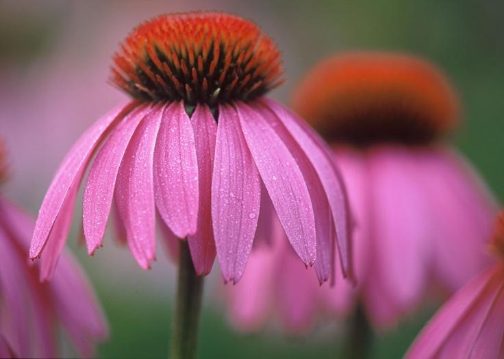 Echinacea purpurea (Roter Sonnenhut), die Lieblingspflanze des Naturheilkunde-Pioniers Alfred Vogel (1902 - 1996).