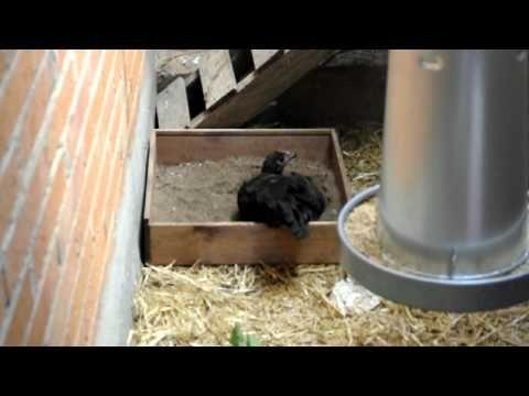 gallina castellana negra: baño de arena - YouTube