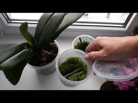 Срезанный цветонос орхидеи растит детку! Размножение фаленопсиса. - YouTube