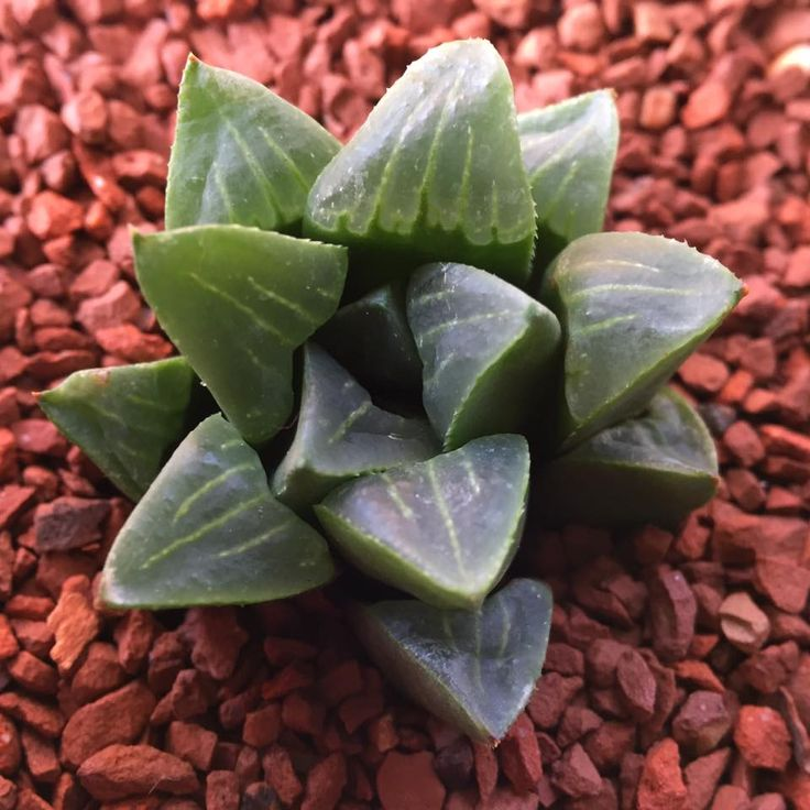 Haworthia mirabilis ssp. mundula