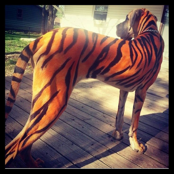 awesome pet paint tiger-striped great dane | bizarre ...