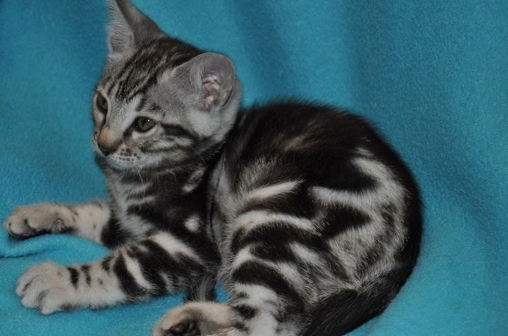 161 best images about Silver Tabby- American Shorthair on ...
