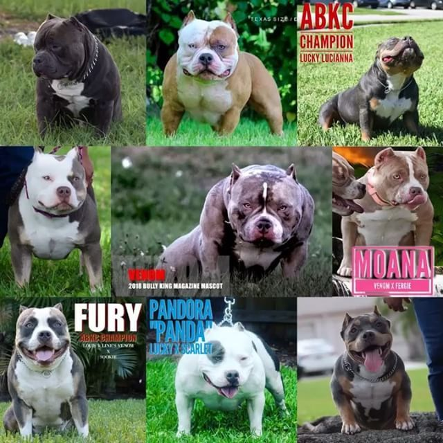 Best Extreme Build Show Quality American Bully Breeders Texas