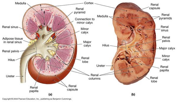 89 best Urinary System images on Pinterest | Anatomy, Medicine and ...