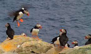 Image result for Newfoundland bird
