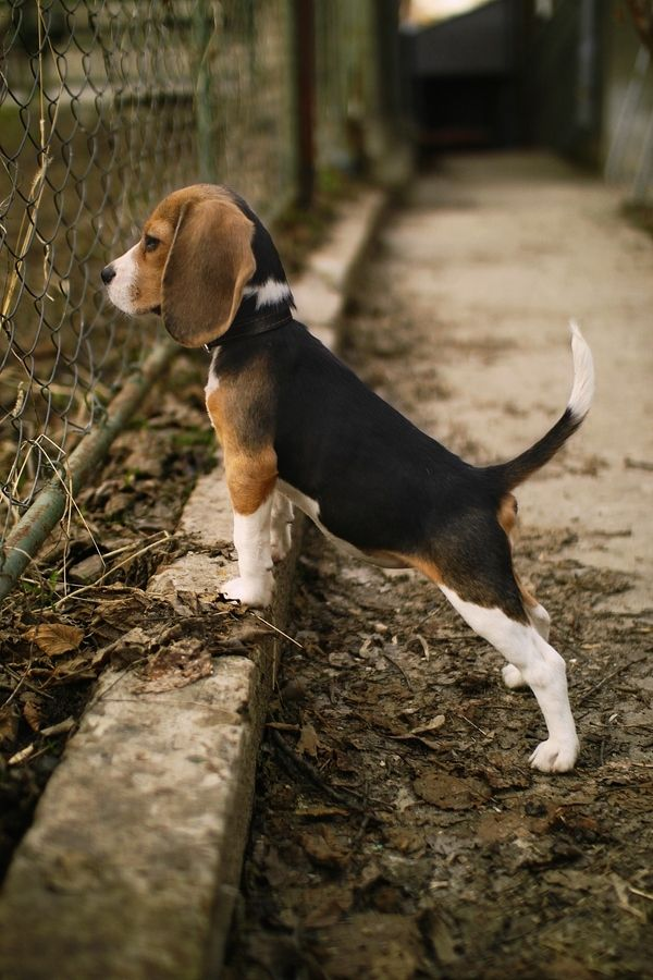 Beagles are always so good with kids. Make great family dogs!!!