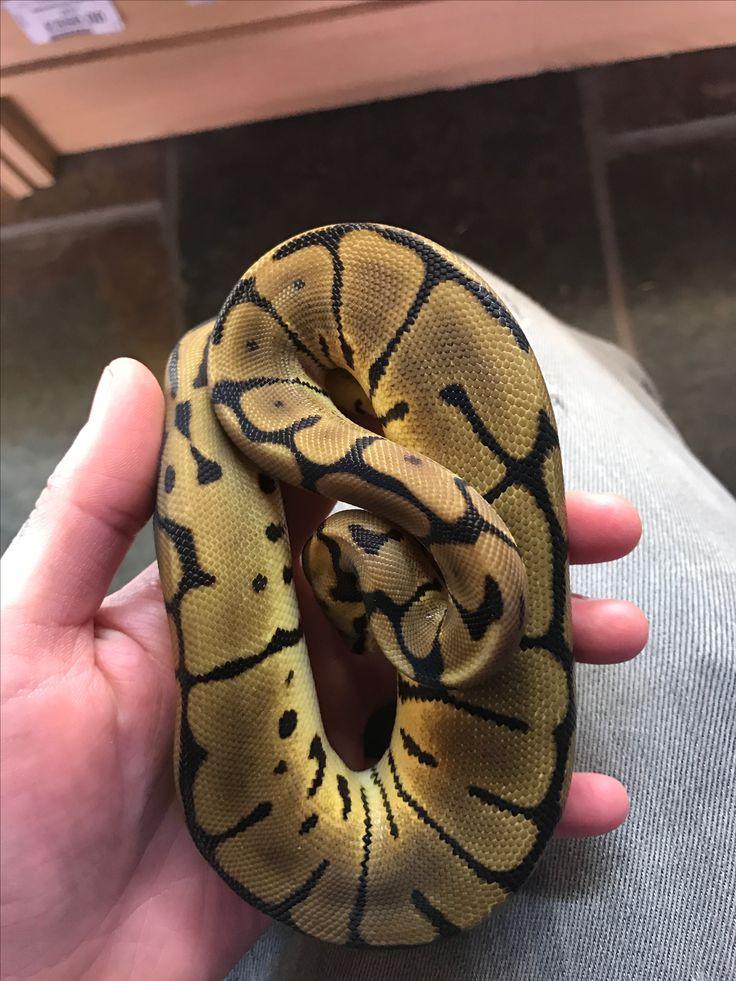 Royals leopard spider pastel royal python ball python
