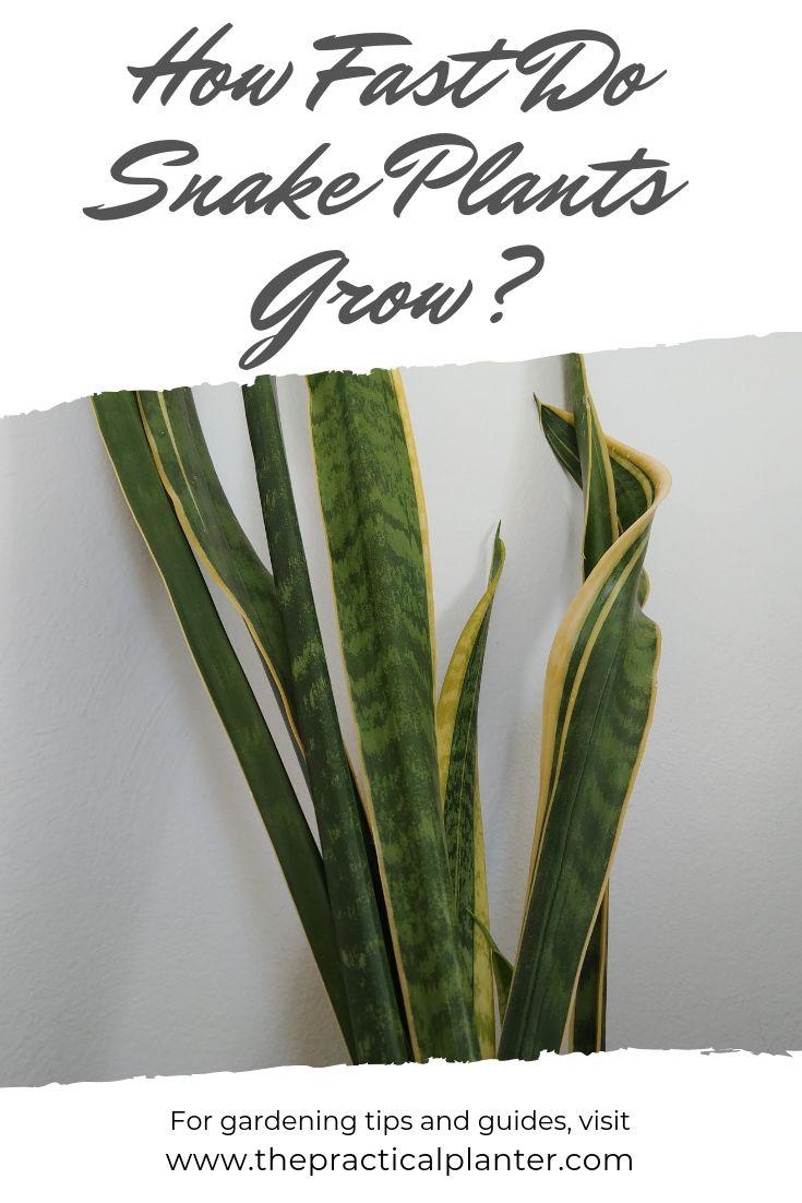 How Fast Do Snake Plants Grow Snake Plant Snake Plant Care Plants