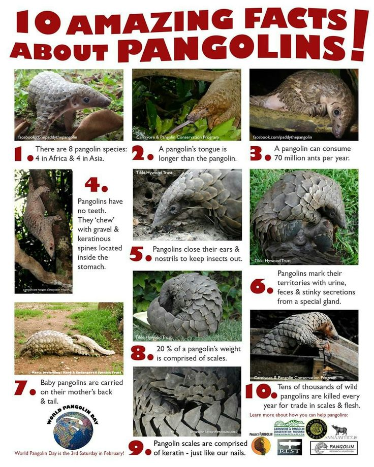 Pangolin fact sheet a friend sent me. Prowl around in my Animalia board to find how you can aid in conservation efforts for this species.
