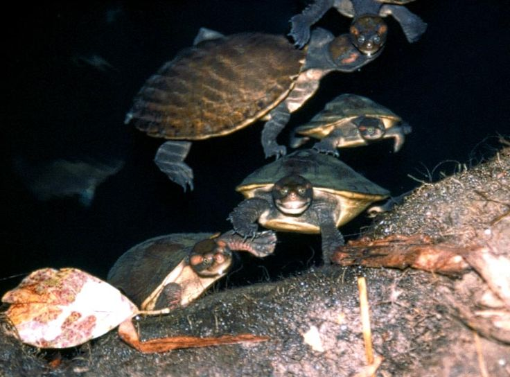 Little Aussie turtles Bell Gorge. I used to have a similar long necked one when I was a kid. They are so cute.