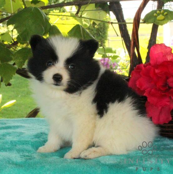 Panda - Pomeranian Puppy for Sale in Manheim, PA | Lancaster Puppies