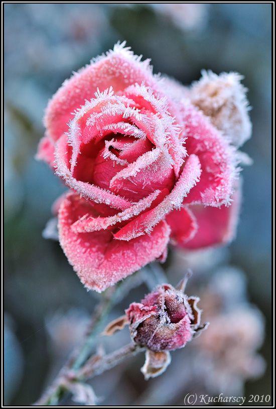 Frozen flower by dark raptor on deviantart flowers for Carrelage 7 5 x 15