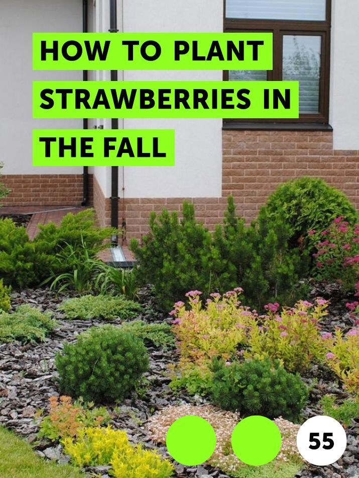 How To Plant Strawberries In The Fall Strawberry Plants Plants Growing Strawberries