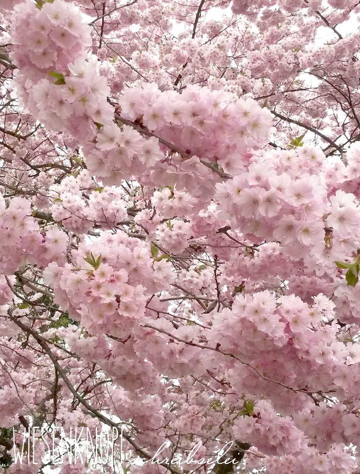 Wiesenknopfschreibselei: Kirsch- und Magnolienblütenzeit im Botanischen Garten Augsburg