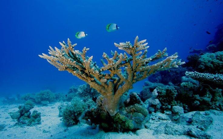 океан, коралловые рифы, коралл,
