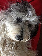 Cally (Lutz IGIEL lugfoto.net) Tags: dog dogs tiere sheepdog hund hunde pon htehunde polishlowlandsheepdog htehund poliskiowczareknizinny