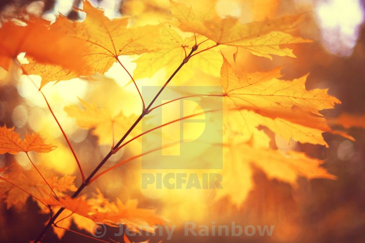 """""""Autumn branch of Maple tree leaves. Toned image"""" by Jenny Rainbow - £10"""