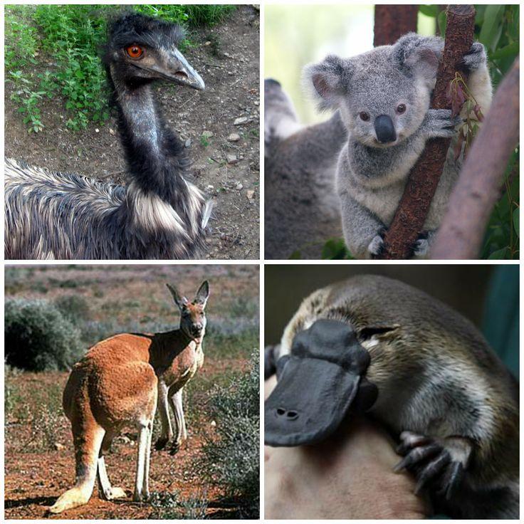 Estos son los animales típicos de australia como: -El avestruz -koala -canguro -ormitorinco